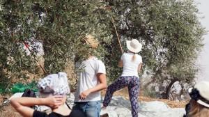 Gemeinsame Olivenernte auf dem Ölberg in Jerusalem