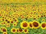 Sonnenblumen_web